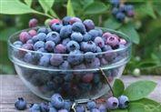 蓝莓酵素 蓝莓提取物